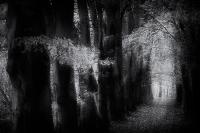 Beukenbos in zwart wit