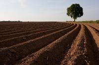 Aardappelruggen