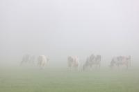 Mist koeien