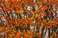 Krent in de herfst