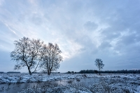 Berken in de sneeuw